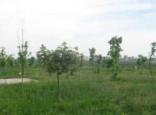 Молодые деревья в парке 70-летия Победы в ЖК Суворовском